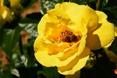 Yellow climbing rose Rosacea with western honey bee Apis Mellifera collecting pollen inside Royalty Free Stock Photography