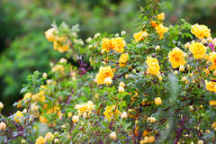 Yellow clinging roses, a lush bloom Royalty Free Stock Photo