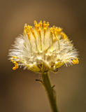 Yellow in the Clouds. Macro of a Dandelion flower starting to got to seed up in the Wasatch National Forest in Utah USA Royalty Free Stock Photography