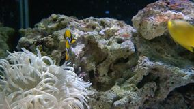Yellow clown fishes swimming. In tank stock footage
