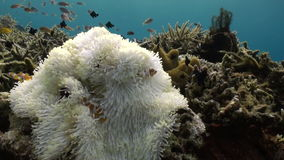Yellow Clownfish In White Anemone In Blue Sea stock video footage