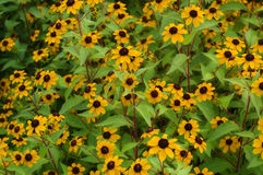 Yellow Cluster. Cluster of yellow wild flowers, background royalty free stock photography