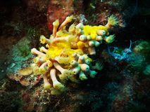 Yellow cluster anemone Stock Image
