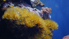 Yellow cluster anemone stock video