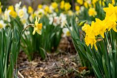 Yellow Cluster Petaled Flowers stock photos