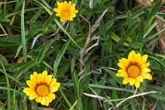 Yellow Coastal Gazania rigens (also called treasure flower) grow Royalty Free Stock Photography