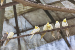 Yellow Cockatiel birds stand on the rail in the cage in Padmaja Naidu Himalayan Zoological Park at Darjeeling, India Royalty Free Stock Photos