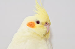 Yellow cockatiel head Stock Photos