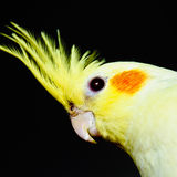 Yellow cockatiel head across