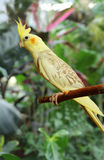 Yellow Cockatiel outdoors Royalty Free Stock Image