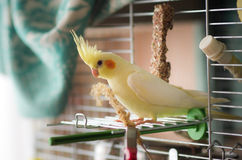 Yellow cockatiel in cage. A yellow cockatiel perching in its cage royalty free stock images