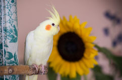 Yellow cockatiel with sunflower on background Royalty Free Stock Photos