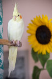 Yellow cockatiel with sunflower on background Royalty Free Stock Image