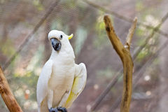 Yellow Cockatoo. Looking  at camera Royalty Free Stock Photo