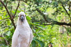 Yellow Cockatoo. In the forest Royalty Free Stock Images