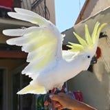 Yellow Cockatoo (Cacatua sulphurea) Royalty Free Stock Photo