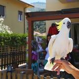 Yellow Cockatoo (Cacatua sulphurea) Royalty Free Stock Image