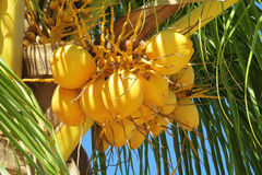 Yellow coco nuts growing on a palm Royalty Free Stock Photos