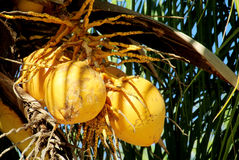 Yellow coco nuts growing on a palm Stock Photo