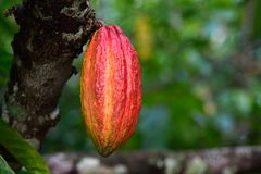 Free Yellow Cocoa Pod Fruit Hanging On Tree Stock Images - 126765824