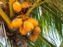 Yellow coconut on palm tree. Golden Malayan Dwarf palm tree. Golden coconut closeup. Botanical garden in Florida. Orange coco fruit. Tropical agriculture Royalty Free Stock Photography