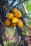 YELLOW COCONUT TREE CLOSE UP WITH BUNCH OF COCONUTS Stock Image