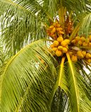 Yellow Coconuts. A close up of a tree yielding only orangey yellow coconuts stock photography