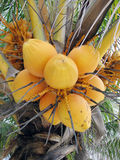 Yellow coconuts. In bunch hanging in tree Stock Photography