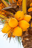 Yellow  coconuts. Yellow coconuts  on the tree Stock Images