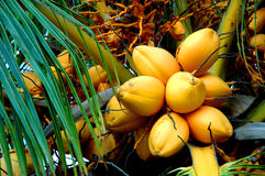 Yellow coconuts. Group yellow coconuts in a palm tree Stock Image