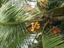 Yellow coconuts grow on palm tree, Sri Lanka stock image