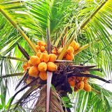 Yellow coconuts. Palm with yellow coconuts Royalty Free Stock Photography