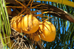 Yellow coconuts on palm Royalty Free Stock Images