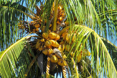 Yellow coconuts on palm Stock Photography