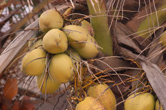 Yellow coconuts on palm tree Royalty Free Stock Photos