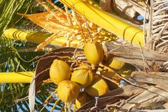 Yellow Coconuts on Palm Tree. The coconut tree is a member of the family Arecaceae and the only species of the genus Cocos. The term coconut can refer to the Royalty Free Stock Photo