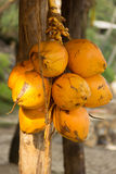Yellow Coconuts. Coconuts in palm tree ripe yellow orange color fruit royalty free stock photo