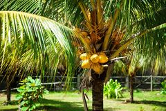 Yellow coconuts. Tropical seascape. coconuts on palm royalty free stock photography