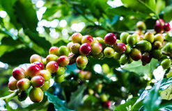 Yellow coffee bean on coffee tree Stock Photo