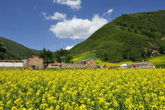 Yellow cole flowers and mountains Royalty Free Stock Photo