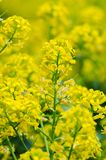 Yellow coleseed flowers grow in fresh. Air in the spring stock images