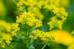 Yellow coleseed flowers grow in fresh. Air in the spring stock photo