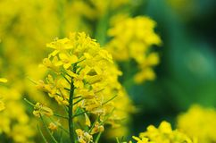 Yellow coleseed flowers grow in fresh. Air in the spring stock photos