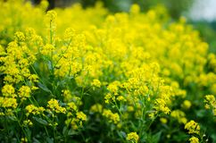 Yellow coleseed flowers grow in fresh. Air in the spring royalty free stock photos