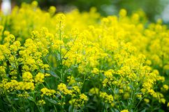 Yellow coleseed flowers grow in fresh. Air in the spring stock image