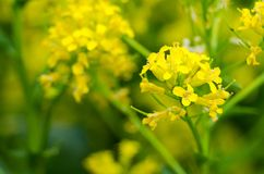 Yellow coleseed flowers grow in fresh. Air in the spring stock photography