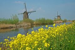Yellow coleseed in front of the famous windmills of Kinderdijk. Yellow coleseed along the canal  in front of the famous windmills of Kinderdijk in The stock photography