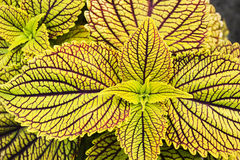 Yellow coleus leaves Stock Image