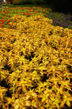Yellow Coleus. Leaves in the garden Royalty Free Stock Photos