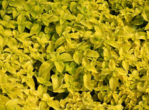 Yellow Coleus leaves Royalty Free Stock Photos